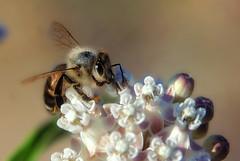 Bee on a milkweed flower (TJ Gehling) Tags: insect hymenoptera bee apidae apis honeybee plant flower gentianales apocynaceae milkweed narrowleafmilkweed asclepias asclepiasfascicularis communitygarden fairmontpark elcerrito