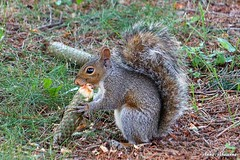 Gray Squirrel with a Pine Cone (--Anne--) Tags: squirrel squirrels easterngraysquirrel graysquirrel pinecone pine cone eating nature naturephotography wildlife wildlifephotography animals animalphotography cuteanimals