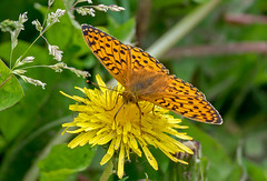 DSC0434 Pearl-Bordered-Fritillary.. (jefflack Wildlife&Nature) Tags: pearborderedfritillary fritillary butterflies butterfly insects insect wildlife woodlands glades countryside fields moorland meadows heathland nature