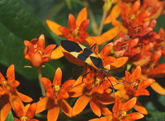 Milkweed Bug Feeding on Orange Milkweed Flowers DSCF2711 (Ted_Roger_Karson) Tags: fujifilmxs1 milkweedbug milkweed handheldcamera raynoxdcr150 fujifilm xs1 super macro raynox dcr150 bug northern illinois hand held camera hd winter lens fuji eyes macrolife m150 macroscopic animal insect outdoor northernillinois