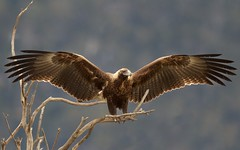 Catching some sun (Geoff Main) Tags: bird eagle australia birdofprey birdinflight wedgetailedeagle canon7d canonef300mmf28lisiiusm canonefextender14xiii