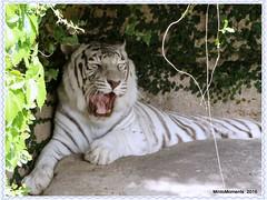 Yawning White Tiger. Audubon Zoo. New Orleans. 13th May 2016 (Tigeress blue) Tags: animal tiger whitetiger audubonzoo wendyminto