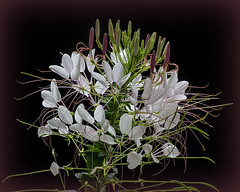 Cleome (erhewitt50) Tags: flowers flower spiderplant cleome