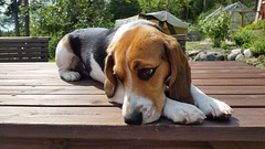 Alva (Dencku) Tags: hund koira dog beagle tricolor tricolour sllskapsdjur pet hound kennel panuntellu