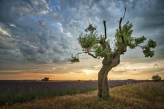 Lonesome Tree (Mateus Carvalho |) Tags: 2016 alpesdehauteprovence colors europe france lavanda mateuscarvalho mateuscarvalhophotography paca photographe photography summer travel tree plateau valensole plateaudevalensole paisagem hdr tokina landscape turismo viagem mundo world places tourism sunset fields riez