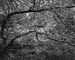 Bending Trees with Foliage (Hyons Wood) (Jonathan Carr) Tags: trees bw white abstract black tree monochrome backlight rural woodland landscape ancient 4x5 abstraction northeast largeformat toyo 5x4 fomapan