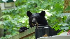 Black Bear & her 3 cubs. (Jim Mullhaupt) Tags: blackbear bear animal cub mother ursusamericanus omnivorous dumpster pest campground mammal deepwood elktownship nature animals creatures summer alleghenyriver kinzua alleghenynationalforest vacation travel warrencounty warren outdoor boating fishing jimmullhaupt trees forest landscape wallpaper pennsylvania russell scandia redoak camping cabins photo flickr geographic picture pictures camera snapshot photography nikoncoolpixp900 nikon coolpix p900 nikonp900 coolpixp900