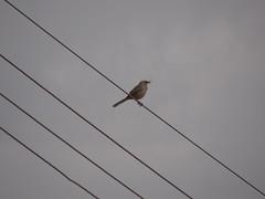 DSC04984 Sabi-Do-Campo (familiapratta) Tags: bird nature birds brasil iso100 sony natureza pssaro aves pssaros novaodessa novaodessasp hx100v dschx100v