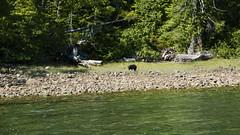 P1480848 (Tipfinder) Tags: kanada canada vancouverisland portalberni tofino ucluelet pacificrimnp long beach bearwhatching hotspringcove