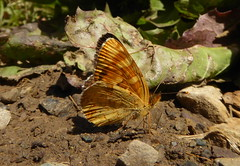 Field Crescent, Phyciodes pratensis pratensis (vietnamvera) Tags: butterflies canadaflorafauna canadianlepidoptera canadianbutterflies canadianrockymountains field crescent
