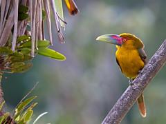 Saffron Toucanet - araçari-banana - Pteroglossus bailloni