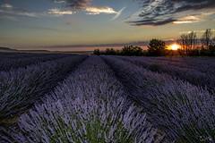 Campos de Lavanda en Palencia (alfrelopez) Tags: lavanda campos paisaje cielo castilla palencia alfredo alfrelopez atardecer ocaso nikon d3200 sigma 18200