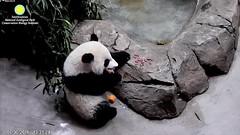 2016_07-30r (gkoo19681) Tags: beibei meixiang treattime yummybiscuit yummyapple sweetpotato sohappy evilcarrot stealing sosad ccncby nationalzoo