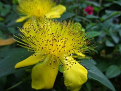 In the Garden (AmyEAnderson) Tags: yellow petals stamen leaves garden closeup macro pistil anther filament sepal annecy france europe alps spring pretty