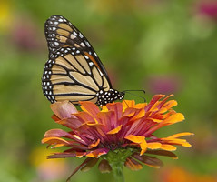 Monarch, female (Danaus plexippus) (AllHarts) Tags: femalemonarchdanausplexippus audubonparkgolfcourse dixongardens memphistn naturesspirit thesunshinegroup naturescarousel ngc npc challengeclubchampions