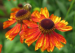 The Sting ... :-) ( Bo ) Tags: helenium flower plant sneezeweed garden yard backyard nature canong16 powershot macro bokeh flowers england britain uk europe european bug bee insect twosome pair couple two red orange green colour brown yellow black colourful summer2016 july