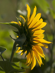 Echevelé ** (Titole) Tags: tournesol sunflower titole nicolefaton behind green yellow backlit