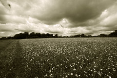Mayweed and clouds (smir_001 (on/off)) Tags: june summer grassland nature outdoor meadow flowermeadow noarhill naturereserve hampshire easthampshire ukwildlifetrusts hampshirewildlifetrusts landscape british britain uk england english canoneos7d flower wildflowers bw blackandwhite monochrome monotone dualtone art artistic