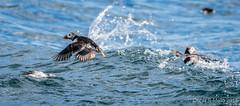 DSC_0586.jpg (oscarmalo681) Tags: islasfairn alcas cormoranes focas frailecillos gaviotas verano2016