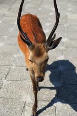 IMG_1494 (wjs5715.thomaswu) Tags: 日本 廣島 宮島 日本三景