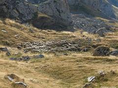 Troupeau de brebis au plateau d'Anou - cabane de l'Araille (64) (Jeanne Valois 64) Tags: barn pyrnesatlantiques estives paturage pastoralisme plateaudanou troupeau brebis moutons aquitaine herbage rocher contrejour beige dor