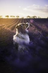 Petit chien des lavandins (jonathan le borgne) Tags: canon50 canon6d dog chien lavande valensole pink sky clouds sunset nature sun light portrait trees family orange new mauve purple violet australianshepherd lavender