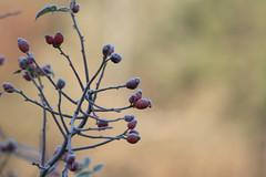 ckuchem-5681 (christine_kuchem) Tags: eiskristalle frost garten hagebutte kristalle nahrung naturgarten rosen samenstnde stauden vogelnahrung vogelschutz vgel wildgarten winter wintergarten winternahrung naturbelassen naturnah reif schnee berzogen