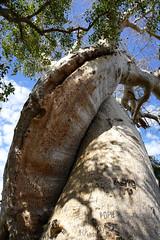 Madagascar:Morondava:Baobabs (Enemy8028) Tags: madagascar morondava baobabs 馬達加斯加 麵包樹