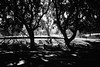 splitting the atom (Albion Harrison-Naish) Tags: moorepark sydney newsouthwales nsw australia streetphotogoraphy sydneystreetphotography trees albionharrisonnaish olympus olympusem5 em5 lumixg20f17ii