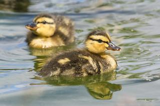 Cute Quackers :) ~ Explored