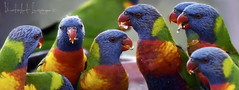 It's all about me! (PhotoArt Images (away)) Tags: rainbowlorikeet color photoartimages trichoglossusmoluccanus australia australianwildlife