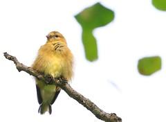 American goldfinch female at Lake Meyer Park IA 854A8789 (lreis_naturalist) Tags: american goldfinch female lake meyer park baltimore winneshiek county iowa larry reis