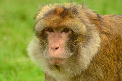 Barbary Macaque (Midland Red) Tags: barbarymacaque monkeyforest