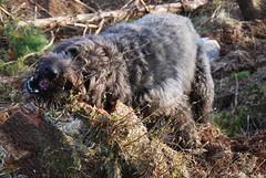 Dougal (Mrtainn) Tags: dog chien skye co cane scotland highlands isleofskye alba hond escocia perro hund pies kutya labradoodle alban szkocja hundur suns pes esccia dougal schottland schotland ecosse anjing scozia kopek skottland  koira skotlanti skotland koer broskos uo cine esccia anteileansgitheanach skcia albain iskoya c  rawtherapee   gidhealtachd eileansgitheanach scoia