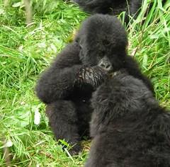 DSCF7649 (2) (Toddy1985) Tags: africa park wild mountain animal gorilla wildlife rwanda national finepix ape fujifilm volcanoes volcanonationalpark primate hs10
