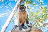 "Bearded Capuchin <a style=""margin-left:10px; font-size:0.8em;"" href=""http://www.flickr.com/photos/41134504@N00/17161335138/"" target=""_blank"">@flickr</a>"