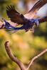 "Hyacinth Macaw <a style=""margin-left:10px; font-size:0.8em;"" href=""http://www.flickr.com/photos/41134504@N00/17161344248/"" target=""_blank"">@flickr</a>"