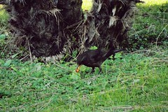 A moment (Francesca Rafanelli) Tags: green grass birds animals berry fujifilm blackbird giardino merli merlo uccello