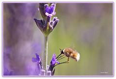 Bombylisoma (Schano) Tags: macro closeup mediterraneo sony fiore insetto lavanda macrofotografia invertebrato fioredilavanda bombylisoma sel55210 ilce3000 sonyilce3000 sonyemount55210 sony3000