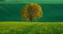 Lonely tree (Mirek Pruchnicki) Tags: tree polska lonely pola wiosna światło drzewo krajobraz wieś województwopodkarpackie trójczyce
