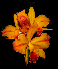 Cattlianthe Hazel Boyd 'Tropical Fantasy' 1-2 hybrid orchid (nolehace) Tags: sanfrancisco winter orchid flower fantasy hazel tropical bloom boyd hybrid 315 nolehace cattlianthe fz35