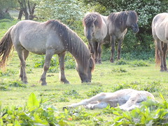 DSCN1292 (cermivelli) Tags: wild horses nature natuur lelystad ree oostvaardersplassen konik konikpaarden oostvaardersveld
