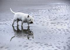 Who's a pretty boy then? (adrian.sadlier) Tags: dog reflection westie buddy westhighlandwhiteterrier portmarnock velvetstrand