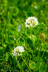 Clover Flower (shadowimagephotography) Tags: flower green grass bokeh lawn clover