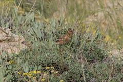 Crimson-winged Finch (katyarud) Tags: bird birds israel  hermon fringillidae  passeriformes     crimsonwingedfinch rhodopechyssanguinea