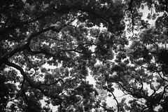 Treetops (mfhiatt) Tags: trees blackandwhite nature day158 day158365 mfhiatt 365the2015edition 3652015 2015michaelfhiatt img63370615jpg 7jun15