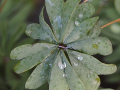 (Gsc63) Tags: plant flower macro tree water leaf olympus foliage droplet waterdroplet epl7