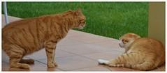 Litigios felinos. (Yoly_Ali.) Tags: red orange pet animal cat kat chat tabby gato mio neko katze orangetabby garfield gatto kot katt gingercat pishi airelibre chatroux gattorosso pelirojo pushi gatusso peleadegatos gatoanaranjado redchat zarpazos