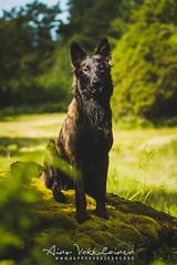 IMG_2963 (jabberjinx) Tags: dog dogs canon shepherd canine hh brindle dutchshepherd dogphotos hollandse dutchie paimenkoira hollandseherder canoneos7d canon7d hollanninpaimenkoira holsku