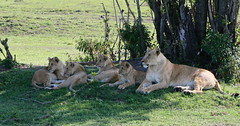 Watching the younger cub (carolinesimpson453) Tags: kenya lion masaimara